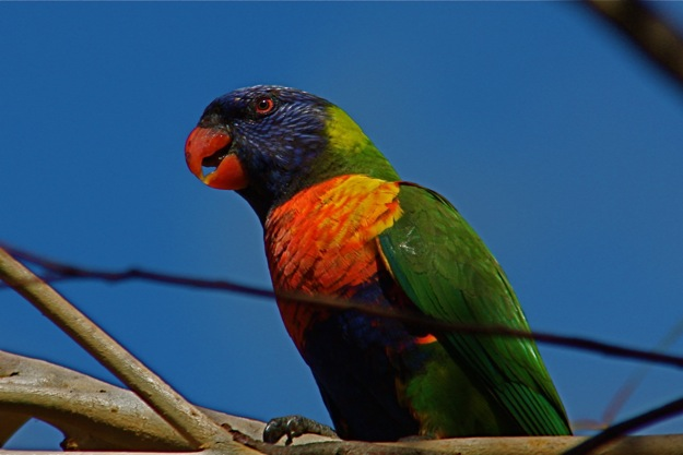0610RainbowLorikeetアップ