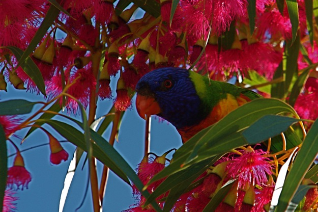 0610RainbowLorikeet赤ユーカリ
