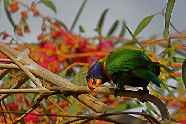 0610RainbowLorikeet顔こすり