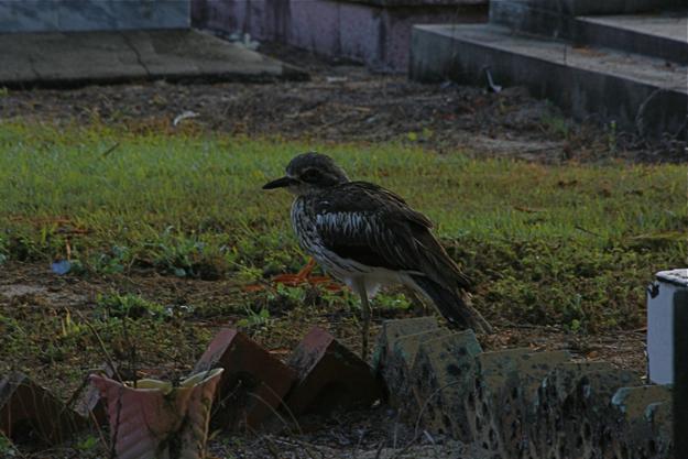 2206bushStone-culew墓鳥