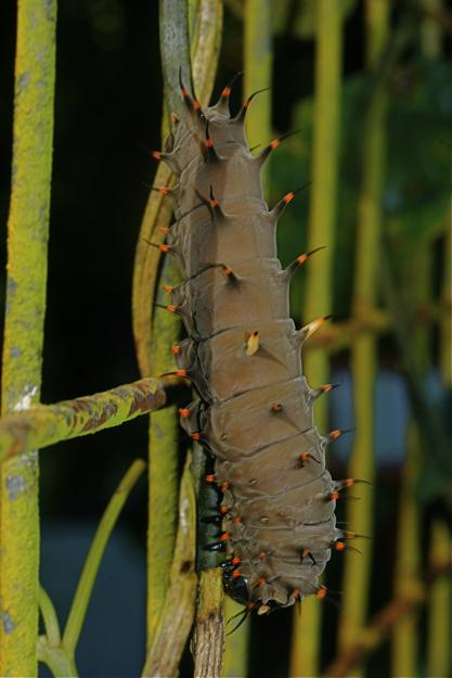 2206トリバネアゲハ幼虫