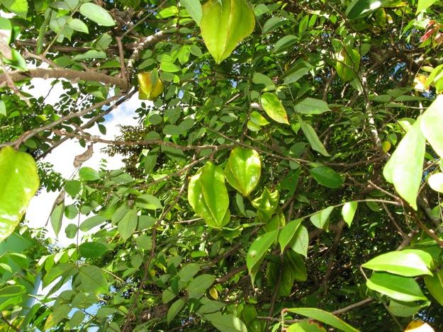 2306スターフルーツ木