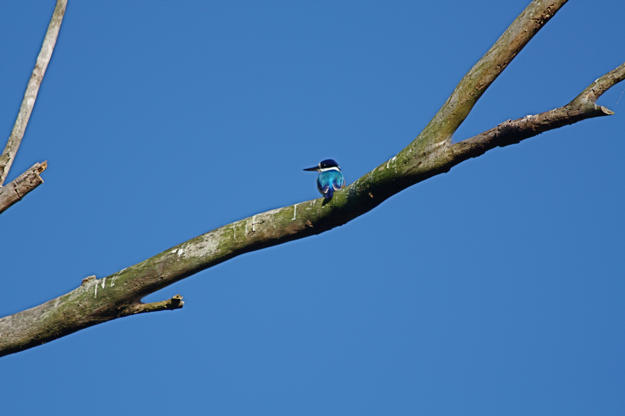 2306ForestKingfisher.jpg