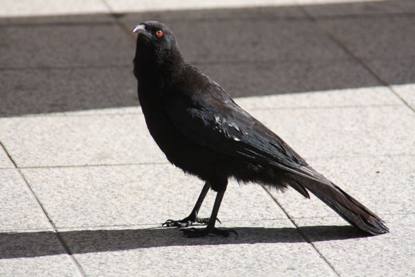WhiteWingedChough.jpg