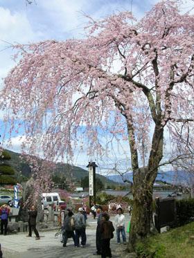 080419光前寺のしだれ桜 036 (4)
