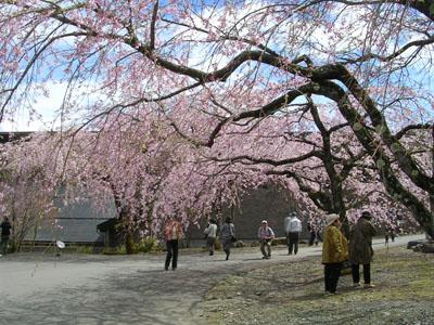 080419光前寺のしだれ桜 036 (5)