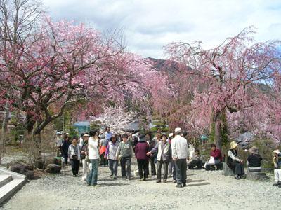 080419光前寺のしだれ桜 036 (6)