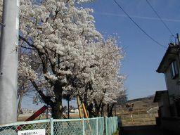 公園の桜1