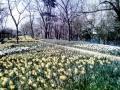 スイセンの花壇