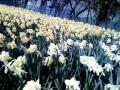 スイセンの花壇02