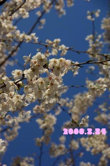 2008.3.31サクラ 041 (Small)