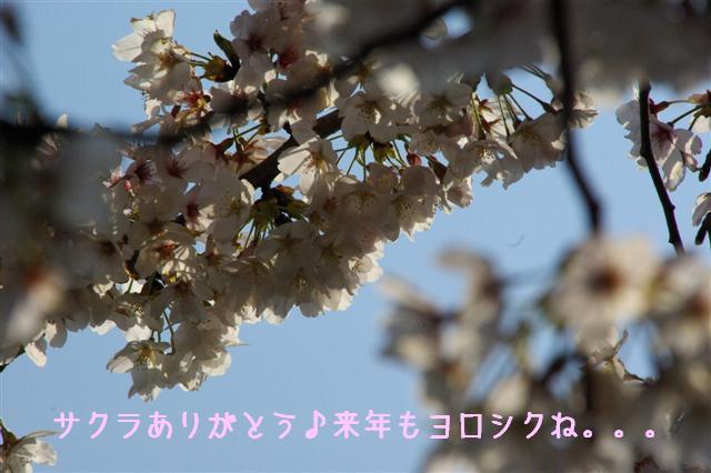 2008.4.2トリミング&再桜 247 (Small)