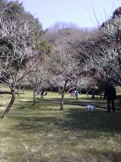 久良岐公園の梅林