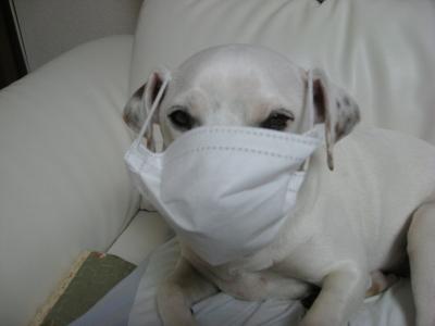 マスクした犬