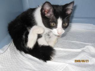 黒白子猫1