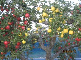 りんご.jpeg