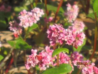 赤ソバの花1.jpeg