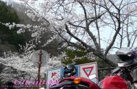 矢作ダム_桜