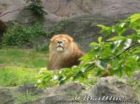 20090613_東山ライオン