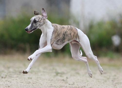 02 飛行犬・ヴィード