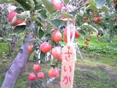 2008-9りんご~2s_b4008-400