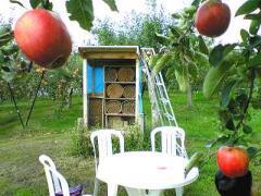 2008-9りんごもぎ3s_b4008-400