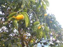 柿木2_400