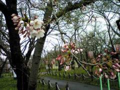 4.21桜2_400