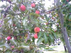赤いりんご15_512