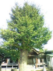 雲祥寺銀杏08_640
