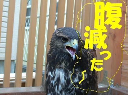 朱雀 餌鳴き4