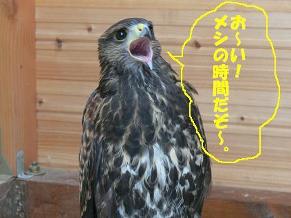 朱雀 餌鳴き1
