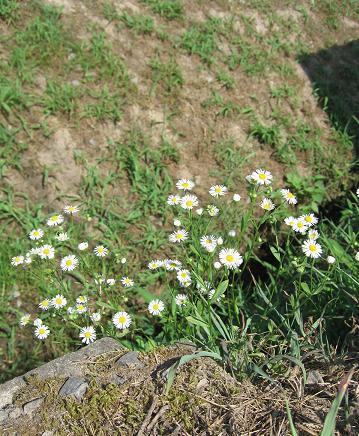 200809081野花