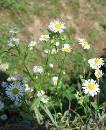 200809082野花