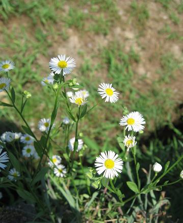 200809083野花