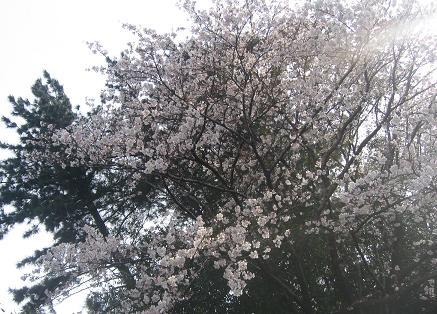 200904111 夫写 いぶきと桜