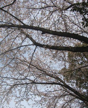 20094112 夫写 いぶきと桜