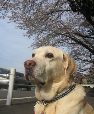 200904113 夫写 いぶきと桜