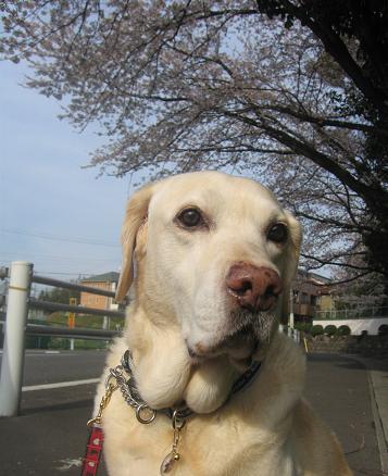 200904114 夫写 いぶきと桜