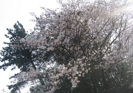 200904115 夫写 いぶきと桜