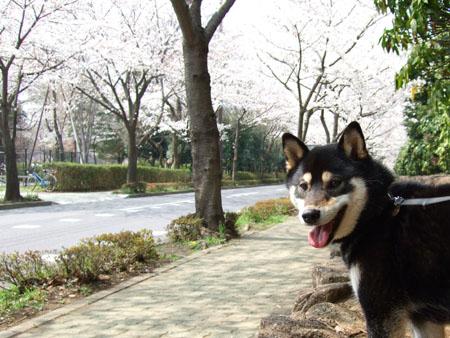 桜(2008/3/28)