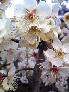 2009 うめの花