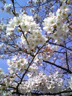 2009、桜咲く