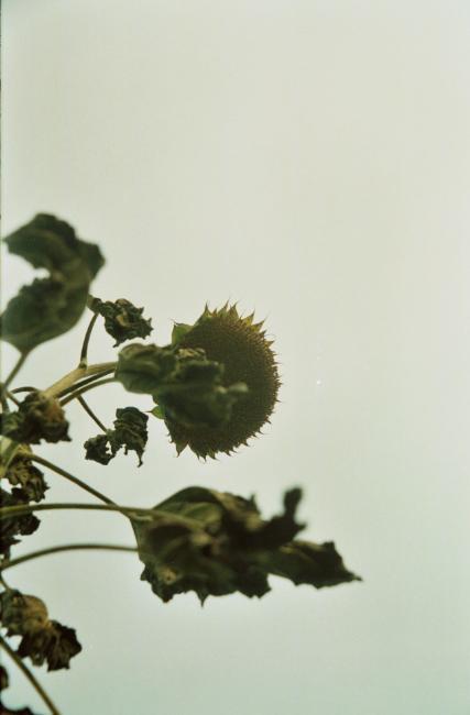 枯萎的向日葵。1