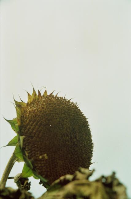 枯萎的向日葵。2