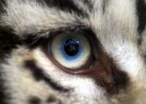 white-tiger-aum-eye1.jpg