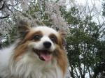 sakura chappy