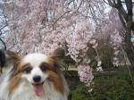 sakura chappy2