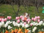tulip pee