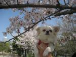 maria sakura
